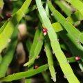 image centipede-plant-tapeworm-plant-ribbon-bush-homalocladium-platycladum-2-jpg
