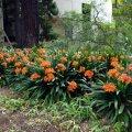 image clivia-bush-lily-fire-lily-clivia-miniata-1-jpg