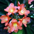 image clivia-bush-lily-fire-lily-clivia-miniata-2-jpg
