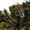 image cockscomb-coral-tree-erythrina-crista-galli-jpg