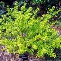 image common-ninebark-physocarpus-opulifolius-darts-gold-1-jpg