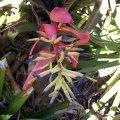 image bromelliad-in-flower-jpg