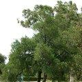 image bursaria-spinosa-large-shrub-jpg