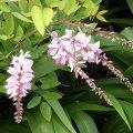 image chinese-indigo-indigofera-decora-2-jpg