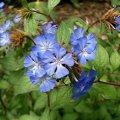image chinese-plumbago-leadwort-ceratostigina-willmottianum-plumbaginaceae-jpg