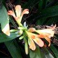 image clivia-x-cyrtanthiflora-amaryllidaceae-jpg