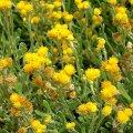 image common-everlasting-chrysocephalum-apiculatum-asteraceae-jpg