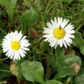 image english-daisy-bellis-perennis-asteraceae-jpg