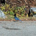 image 020e-bluejay-at-narada-falls-jpg