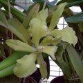 ORCHIDS - Cattleya Hybrids