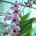 ORCHIDS - Dendrobiums