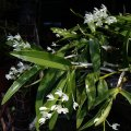 ORCHIDS - Native Dendrobiums