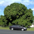 image morayfield-mango-tree-in-fruit-jpg