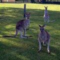 image toorbul-kangaroos-roaming-free-01-jpg