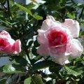 image blushing-pink-jpg