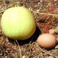 image 017-nt-paddy-melon-jpg