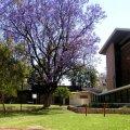 image 020-nt-jacaranda-tree-outside-church-in-alice-springs-mall-jpg