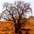 image 068-boab-tree-by-the-main-roadside-jpg