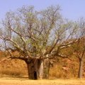 image 077-wa-mama-and-baby-boab-trees-jpg