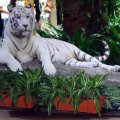 image 06-cut-out-of-a-white-bengal-tiger-jpg
