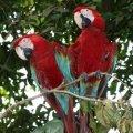 image 07-scarlet-macaws-ara-macao-jpg