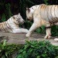 image 08-white-bengal-tigers-jpg