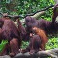 image 10-sumatran-orangutan-family-jpg