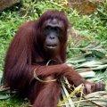 image 11-female-sumatran-orangutan-jpg