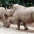 image 13-white-rhinoceros-square-lipped-rhinoceros-ceratotherium-simum-jpg