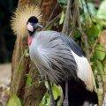 image 14-east-african-crowned-crane-grey-crowned-crane-balearica-regulorum-jpg