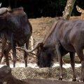 image 16-nyala-southern-african-antelope-male-tragelaphus-angasii-jpg