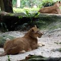 image 22-african-lioness-jpg