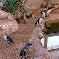 image 010-fairy-penguins-jpg