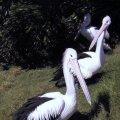 image 012-pelicans-jpg