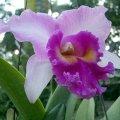 image cattleya-orchid-001-jpg