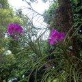 image 004-vanda-orchid-jpg