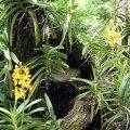 image 005-yellow-vandas-jpg