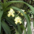 image 010-pixie-orchid-jpg