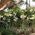 image 012-dendrobiums-in-orchidarium-jpg