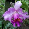 image 013-cattleya-in-orchidarium-jpg