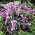 image 025-phalaenopsis-in-mist-house-jpg