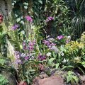 image 026-dendrobiums-in-mist-house-jpg