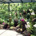 image 027-various-orchids-in-mist-house-jpg