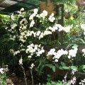 image 031-white-phalaenopsis-jpg