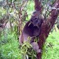 image healesville-sanctuary-koala-jpg