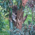 image healesville-sanctuary-another-koala-jpg
