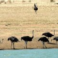 image lake-cairn-curran-roaming-emus-jpg