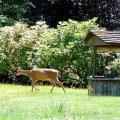 image 003-eatonville-deer-outside-angels-home-jpg