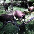 image 009-nwt-bison-jpg