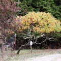 image 002-sumac-tree-10-oct-03-jpg